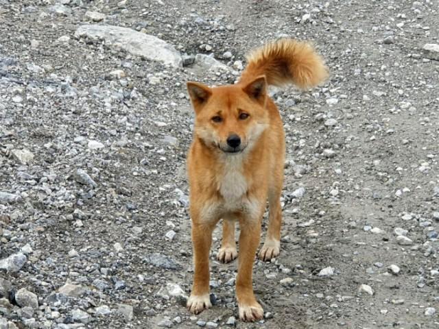 「歌う犬」は絶滅していなかった!50年ぶりに野生の個体を発見(ニューギニア)