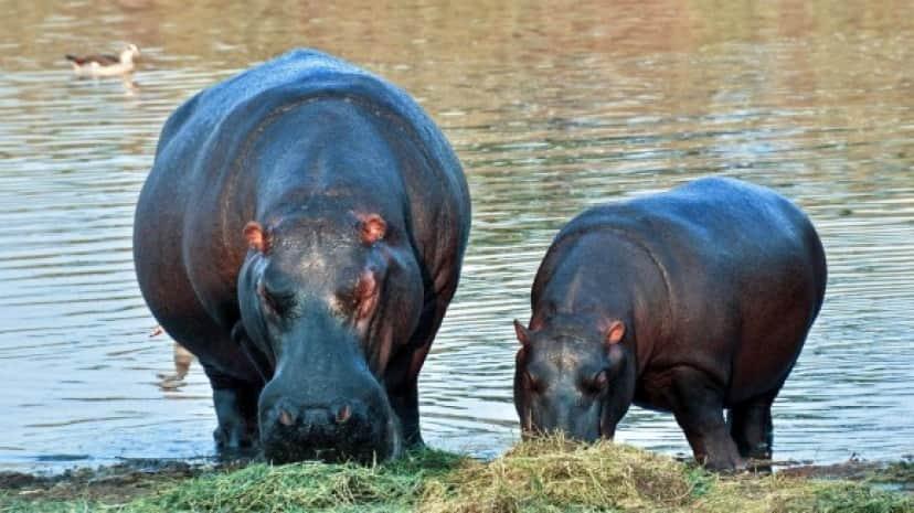 hippopotamus_pixabay