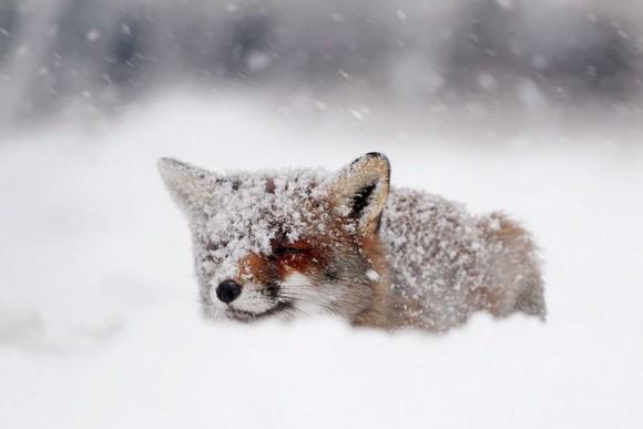 キツネに恋する5秒前。雪景色に溶け込んでかわいさシナジーなキツネたちの画像