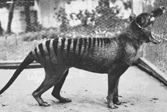 絶滅したはずのタスマニアタイガーは生きている?目撃情報多発で本格的な調査が開始される(オーストラリア)