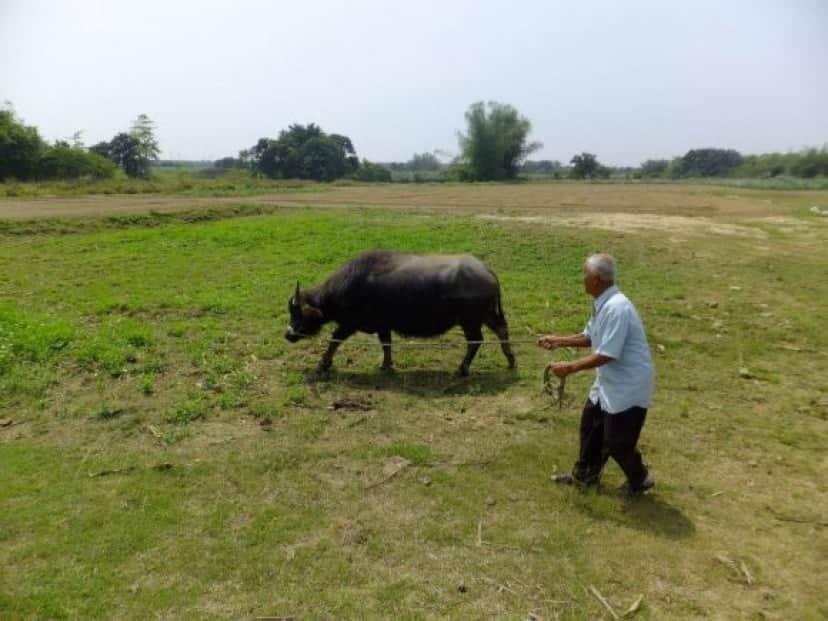 cow-2 (1)