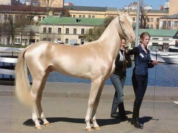 ピンクゴールドに輝く毛をもつ「黄金の馬」アハルテケの圧倒的存在感!