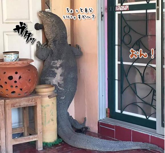巨大なオオトカゲが玄関先で「ちょっと自分いいっすか~」で住人と犬がギョッ!!(タイ)