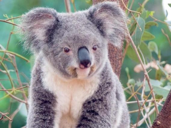 koala_01_e