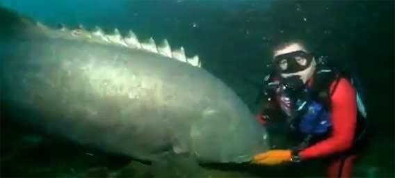 巨大魚「タマカイ」痛恨の一撃!狙った先は??