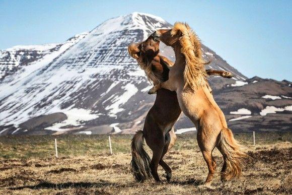 アイスランドに生息する美しく力強い野生の馬たちの写真