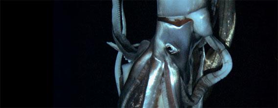 深海の巨大生物「ダイオウイカ」その姿がついにお茶の間に顔を出す