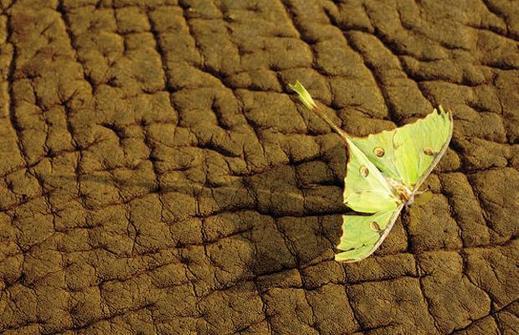 Moth-elephant_1402375i