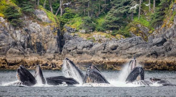 日本の捕鯨はクジラ保全最大の脅威ではない。アメリカとカナダは自分たちの有害な行為に目を向けるべきだとするアメリカの研究者