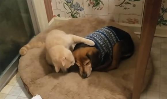 目が見えなくなった犬をやさしくいたわりながら添い寝する猫