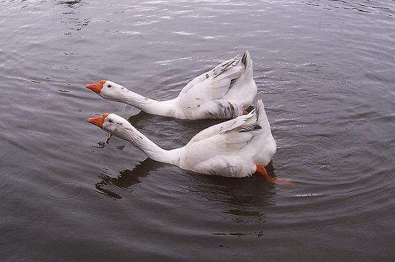 synchronized swimming animals 21