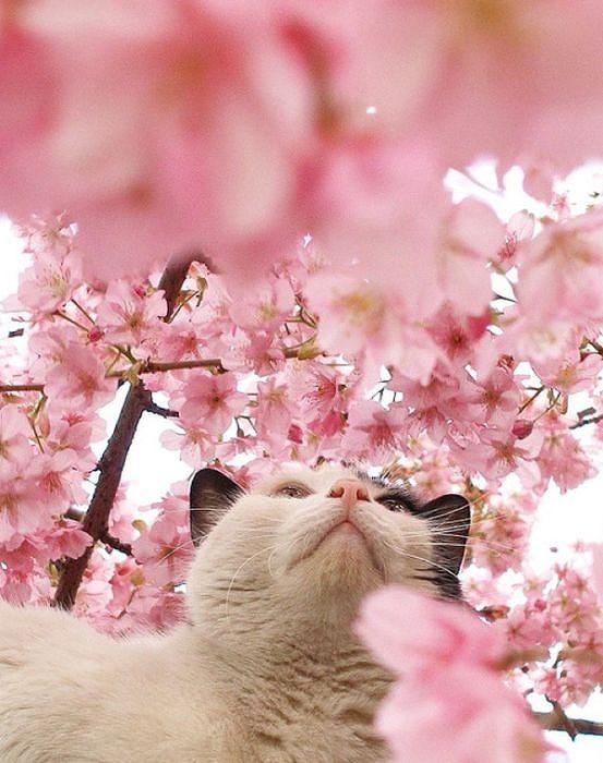 cherry_blossom_tree_cats_10