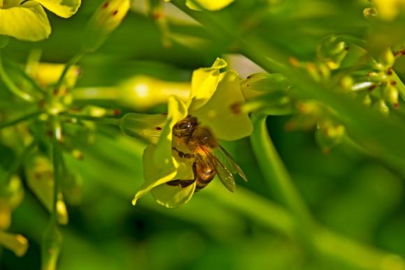 ケープミツバチが単為生殖でメスを産むことを可能にする遺伝子が特定される