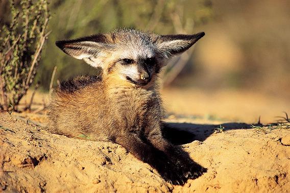 Bat-Eared Fox The Kalahari