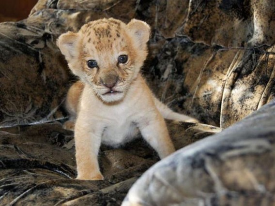 ミネソタ大学ライオン研究センター所長のクレイグ・パッカー氏によると、これまでライライガーが生まれたという話は聞いたことがなかったが、実際に生まれたこと