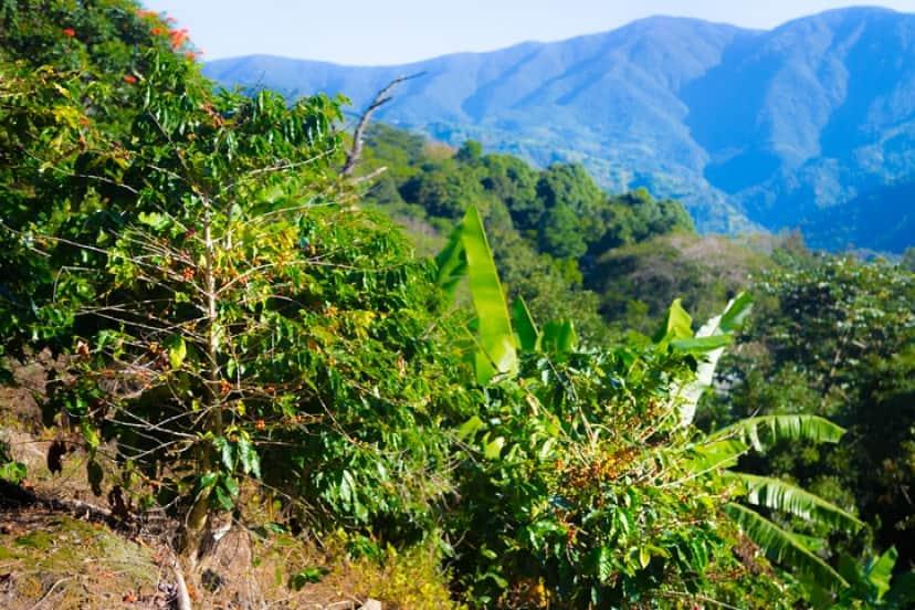 コーヒー生産の時に出る廃棄物が森林を蘇らせる