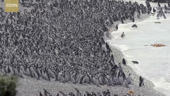 超大量のペンギン上陸。100万羽を超えるマゼランペンギンたちが地面を覆いつくす (アルゼンチン)