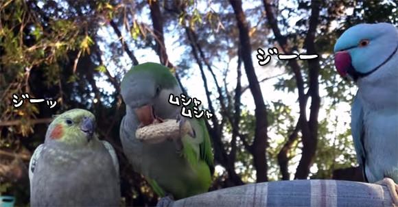 くれよ!やだよ!ピーナッツを見せびらかしながら食べているインコに対する残り2羽のインコたちの反応の画像