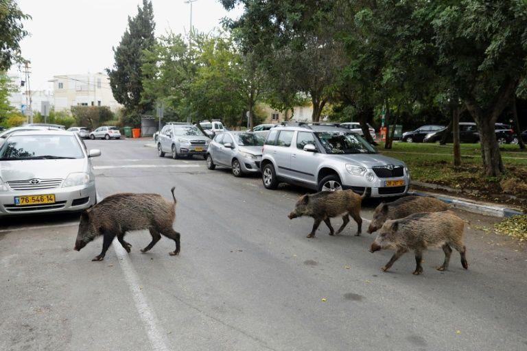 イノシシが町中を闊歩するイスラエル、ハノファ