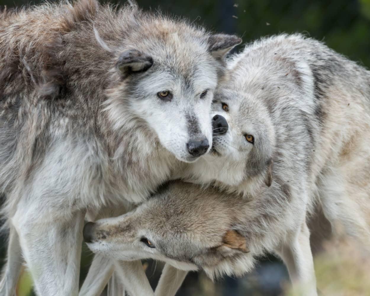 イエローストーンに狼を導入