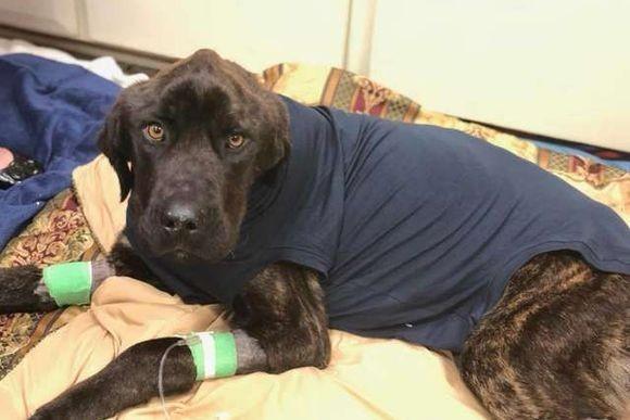 痩せこけて、骨と皮だけの状態になっていた犬。生きることをあきらめなかった犬の奇跡の回復物語(アメリカ)