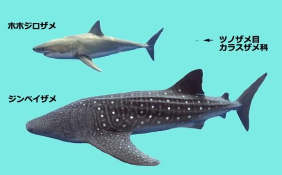 みんな違ってみんなサメ。サメに...