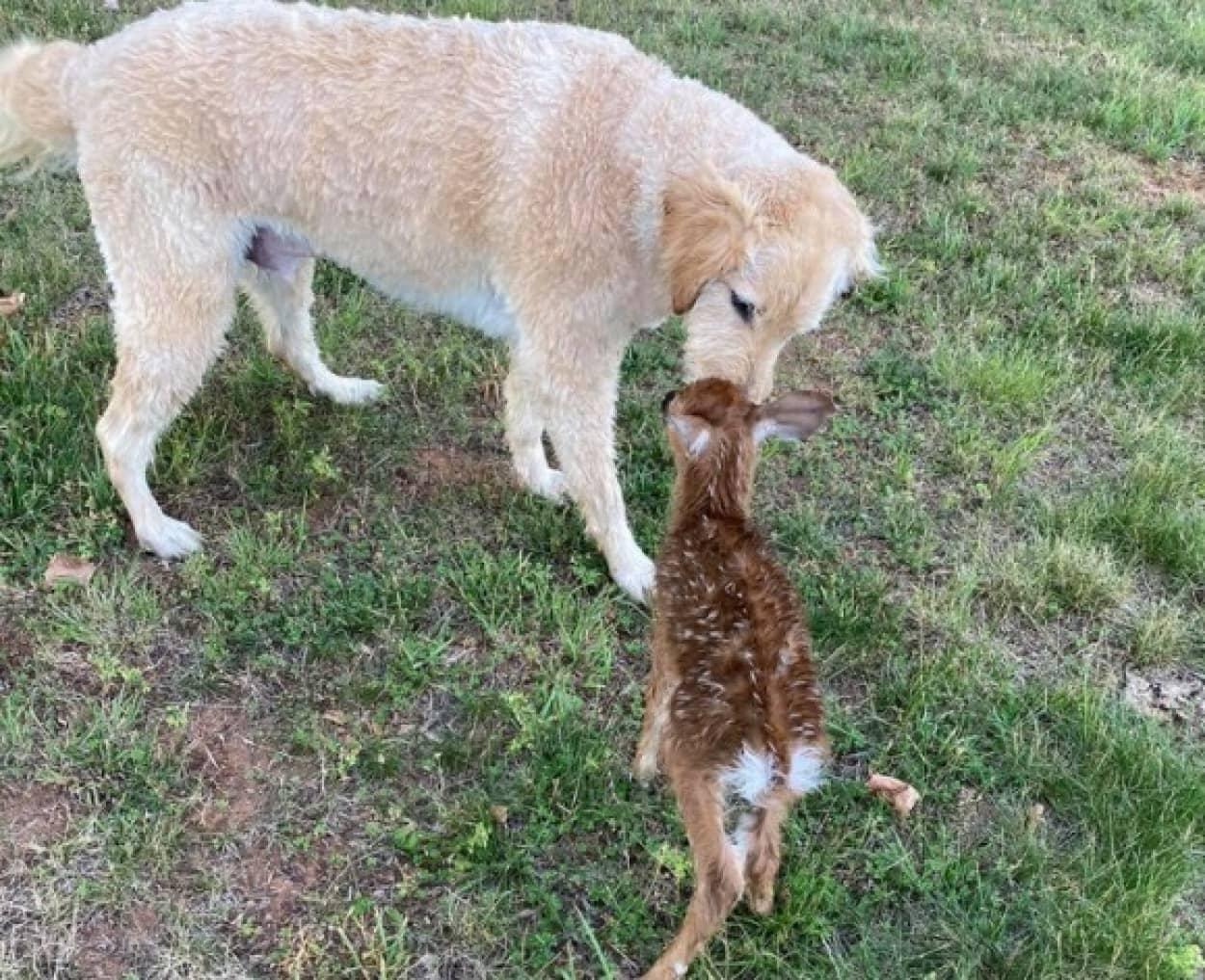 湖で溺れそうになっていた子鹿を救った犬の元へ、母鹿と子鹿が会いに来た!