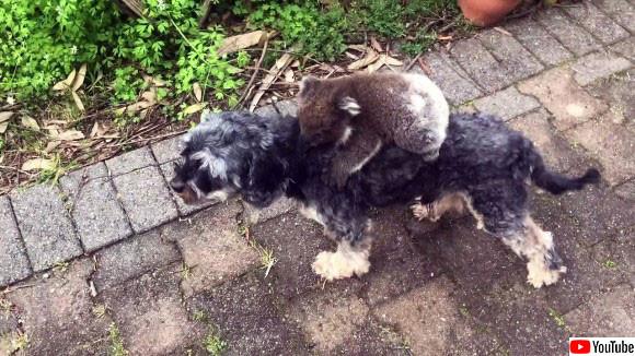 コアラに母親認定された犬、ぴっとり背中にくっつかれて合体解除してもらえない(オーストラリア)