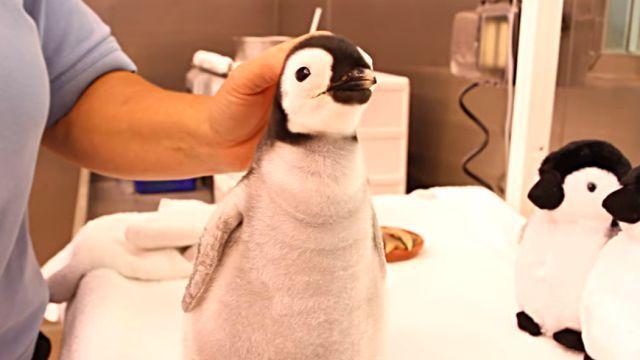ぬいぐるみかよ!ふかふかコウテイペンギンの赤ちゃんが可愛すぎる