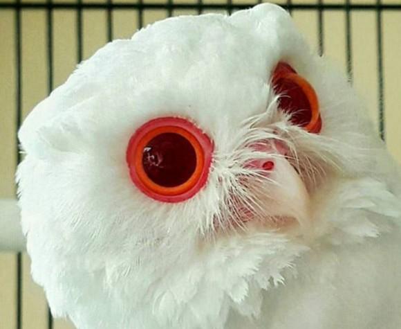 ルビーのような瞳を持つアルビノのフクロウ