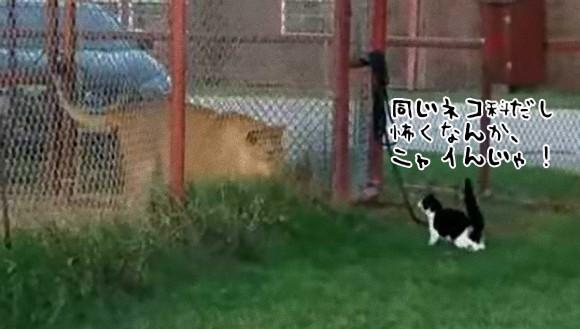 言っても同じネコ科だろ?イエネコ、ライオンと対面するも威風堂々とかいう