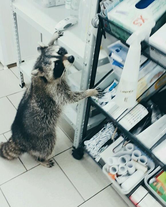 raccoon-3 [www.imagesplitter.net]