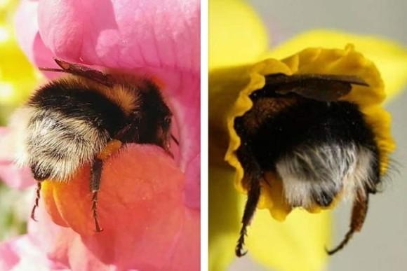 コロンとキュートでもっふもふ!昆虫だってかわいいところあるんです。花に頭をつっこんだマルハナバチのお尻ったら!