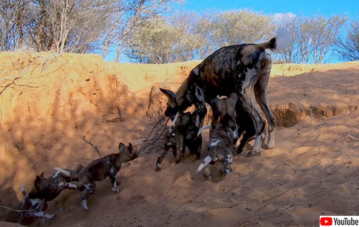 リカオンが子供たちに餌を与える貴重な映像