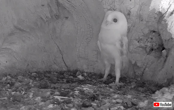 怖い、怖い、雷怖い。生まれて初めて雷の音を聞いたメンフクロウの赤ちゃんの反応