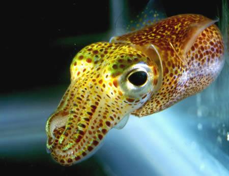 a96794_a492_hawaiian-squid2