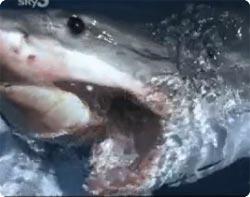 ホオジロサメ