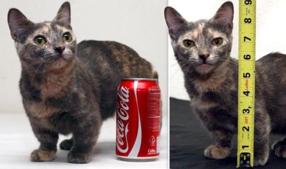 足から肩まで13.5㎝。世界最小記録間近の猫、ピクセルさん