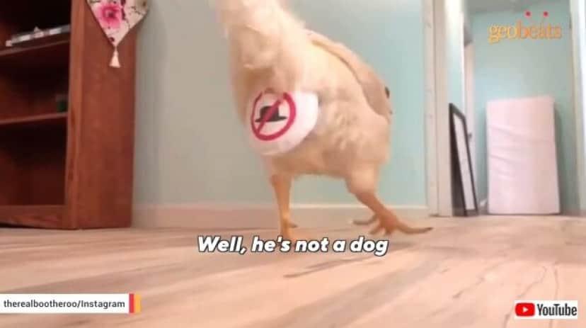 chicken6_640