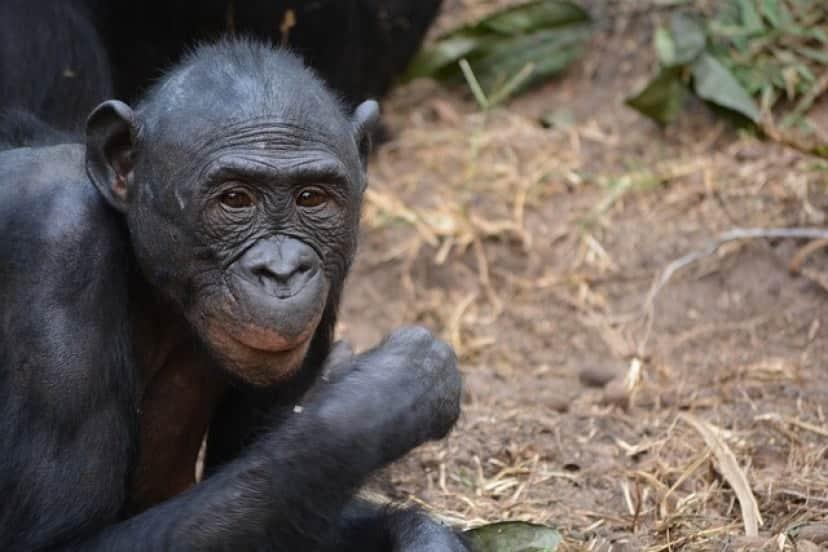 ボノボは新種のトリュフを食べていた