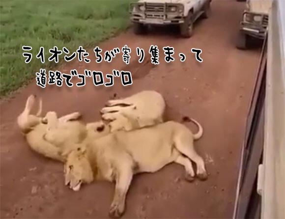 怖かわいさの大渋滞。道路に寝そべり通行止めにした3頭のライオン
