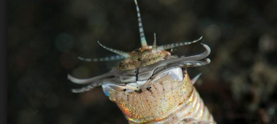 水中の頂上対決、強靭な口で獲物を切り裂くオニイソメ VS 好戦的な毒使いのミノカサゴ
