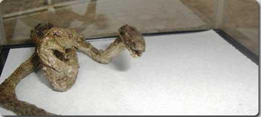 蛇のミイラ1