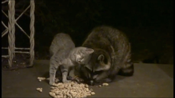 73_TOP_Feral Kitty Adores Raccoon So Much_e
