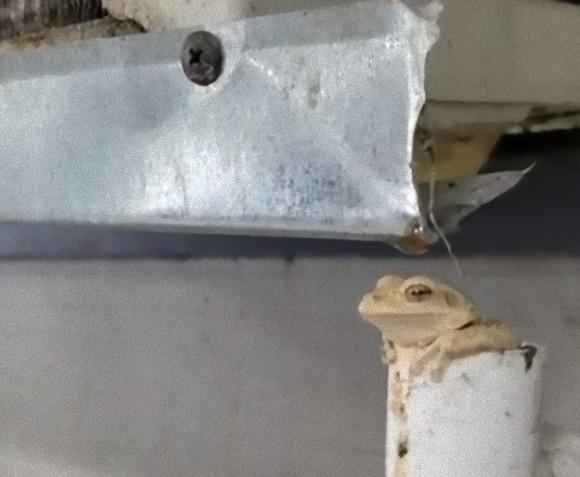 このカエル、できる!水分補給に最適の場所を見つけたカエルの入浴シーン