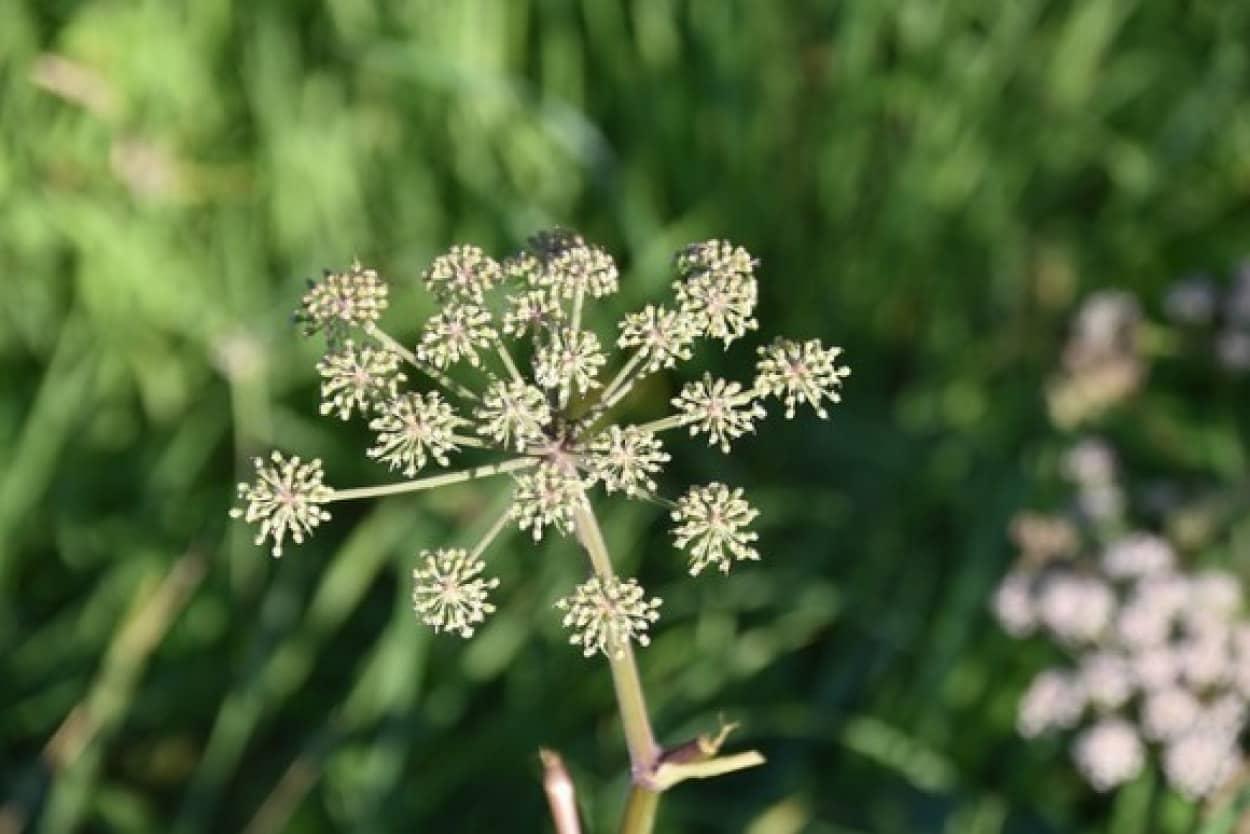 猛毒植物「ドクニンジン」が満開(アメリカ)