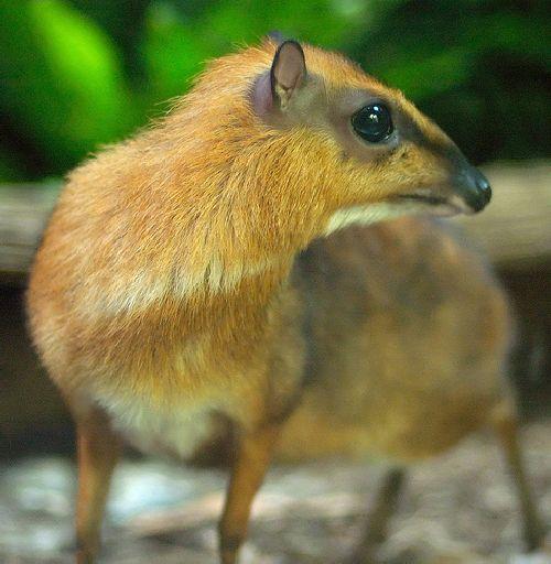 mouse_deer_09