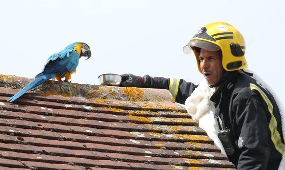 屋根の上から3日も降りてこないインコを助けようとした消防士。なぜかインコに口汚くののしられる(イギリス)
