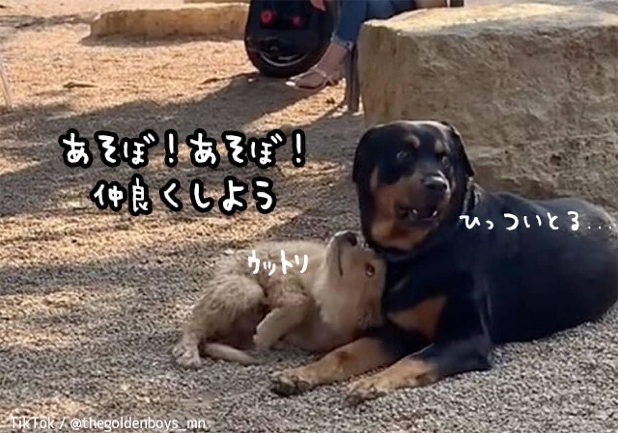 ゴールデンレトリバーの子犬、公園で一番大きな犬と友達になりたくて積極的アプローチ