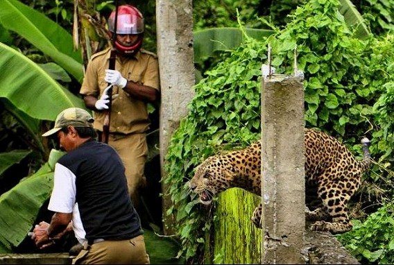 野生のヒョウ、村に迷い込み人々...